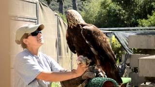 Feeding Time for Golden Eagle