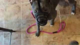 Pitbull Dog Training Connecticut Ct