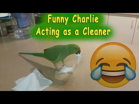 My Funny Parrot Charlie as a Cleaner – Naughty bird