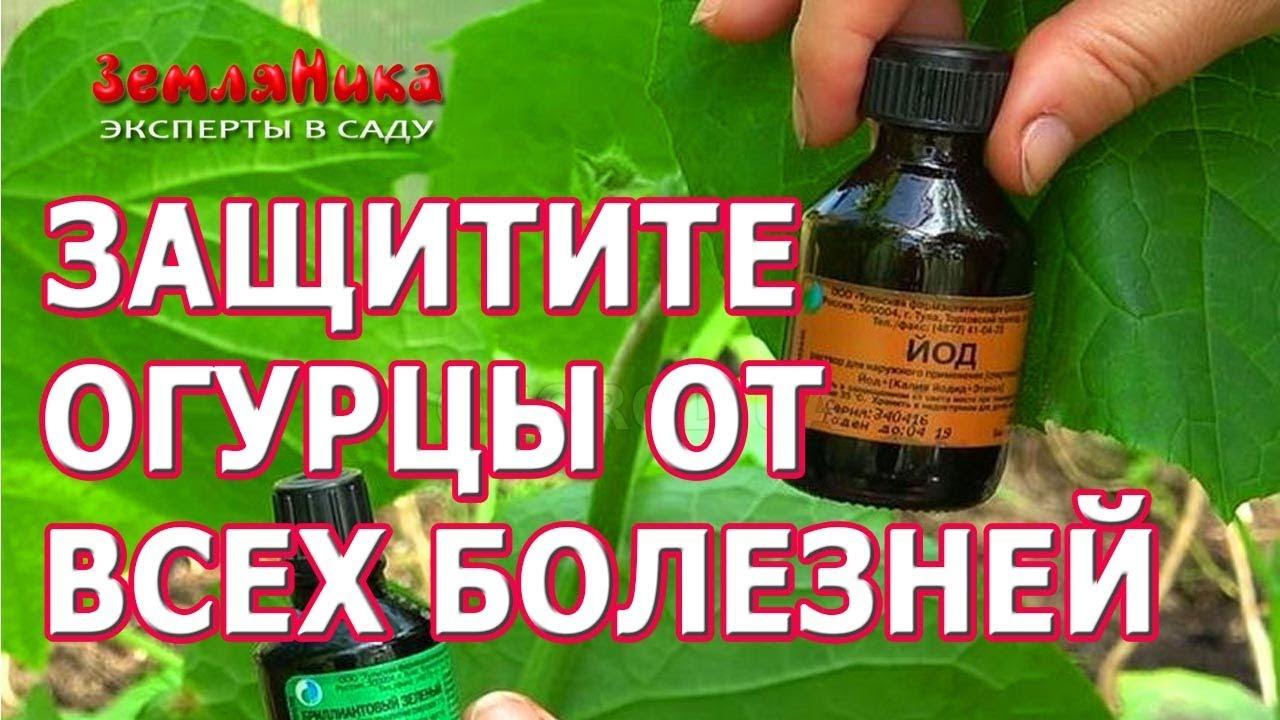 Супер средство от болезней огурцов. Как защитить огурцы от болезней и вредителей.