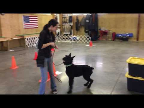 "Giant Schnauzer ""Yasmine"" 8 Mo. Obedience Protection Trained Dog For Sale"