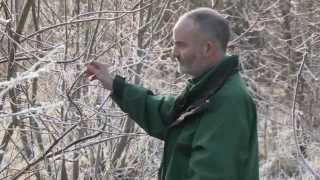 Chalara ash dieback - identifying symptoms in the winter