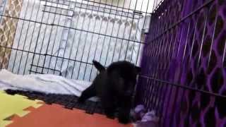 This is a video of Kai Ken (甲斐犬) Ayu's fourth litter at 25 days ...