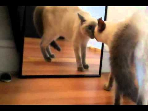 Blue Point Siamese kitten Aiko scared of the mirror