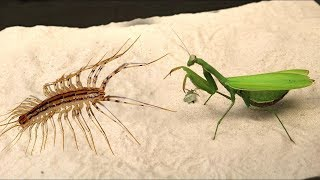 WHAT WILL BE IF THE MANTIS SEES THE SCOLOPENDRA - VERSUS OF THE SCOLOPENDRA (MYRIAPOD)