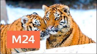 Гуляющих тигров заметили в районе Митино - Москва 24