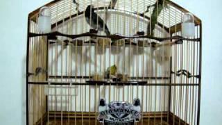 Repeat youtube video COLEIRO BAIANO DE GOLA MUTAÇÃO