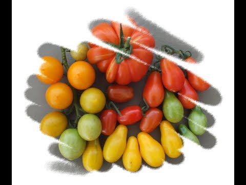 HGV How to grow Tomatoes from shop bought Tomatoes Start to Finish. Grow Vegetables
