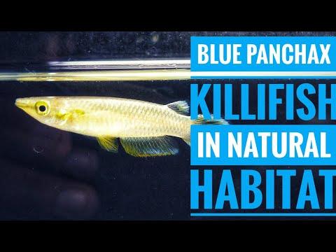 Collecting BLUE Killifish In Natural Habitat   Aqua Adventure  