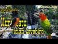 Terapi Suara Air Dan Masteran Murai Batu Isian Lovebird  Mp3 - Mp4 Download