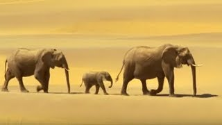 Elephants in the Namib desert - Wild Africa - BBC Brilliant footage of a family of elephants crossing the Namib desert and searching for food from BBC's Wild Africa series. Visit http://www.bbcearth.com for all the latest animal news and wildlife videos and watch more high quality videos on the new BBC Earth YouTube channel here: http://www.youtube.com/bbcearth
