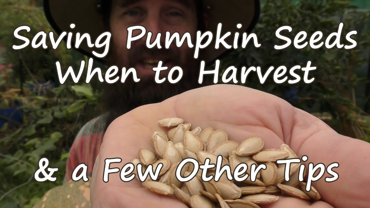 How To Save Pumpkin Seeds When Harvest A Few Other Tips