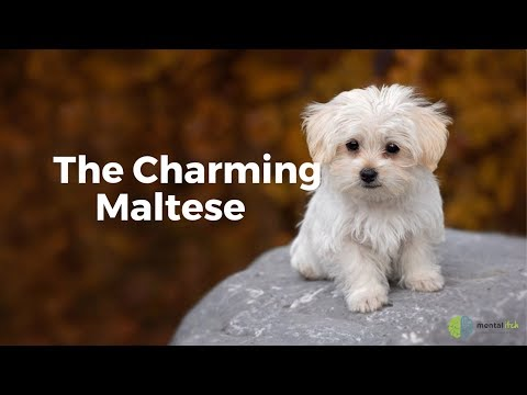 The Charming Maltese
