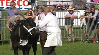 Heffer Biff Masnachol dros 425kg | Comm. Beef Heifer over 425kg