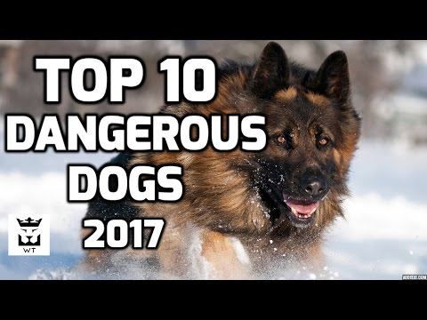 Top 10 Most Dangerous Dogs Breeds(Ferocious Dogs)