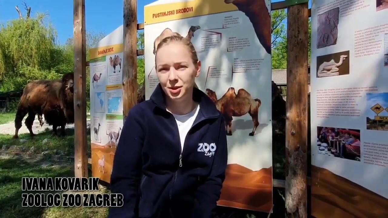Dvogrba Deva Camelus Bactrianus Zoo Zagreb