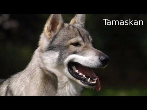 Tamaskan  large working dog breed