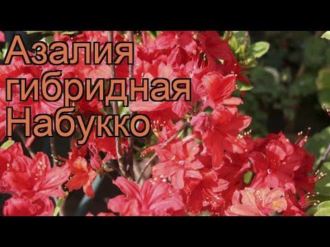 Азалия гибридная Набукко (azalea knap hill nabucco) 🌿 обзор: как сажать, саженцы азалии Набукко