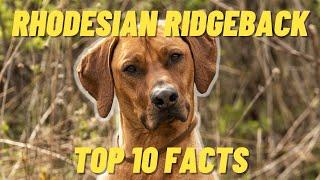 Rhodesian Ridgeback Top 10 FACTS  Pro and Cons of the Rhodesian Ridgeback