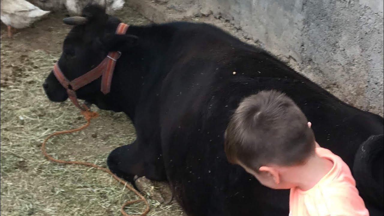 MAHİR İLE HAYVANLAR ALEMİ /Hayvanları Tanıyalım/ inek, inekler, İnek sesi,inek video, inek videoları