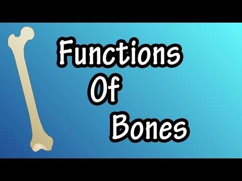Functions Of Bones In The Body - What Do Bones Do