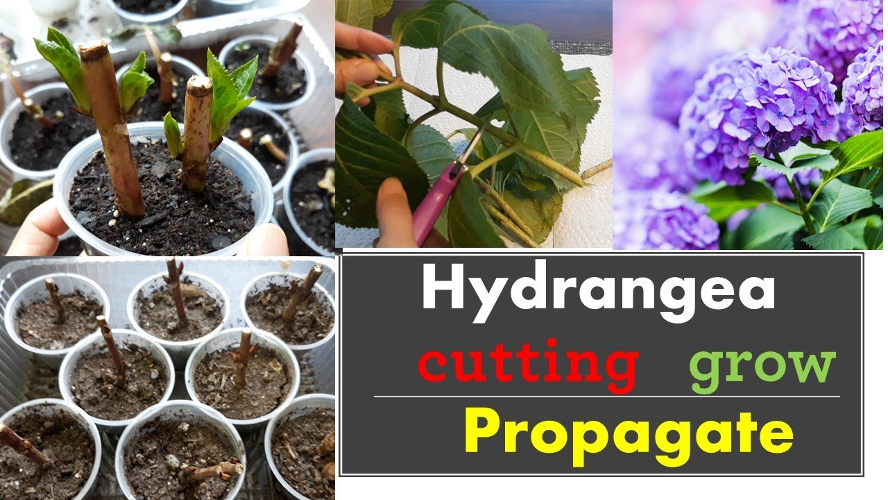 Download How to propagate hydrangeas from cuttings:: Grow::