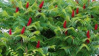 Сумах дубильный   Rhus coriaria