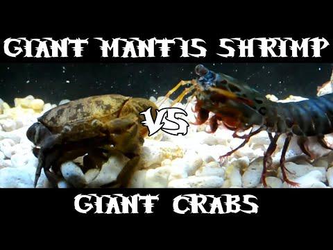 Giant Smashing Mantis Shrimp VS Giant Crabs