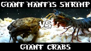 Giant Smashing Mantis Shrimp VS Giant Crabs