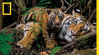 Tigers Forever: Saving the World