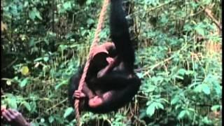 Chimpanzees of Gombe Stream
