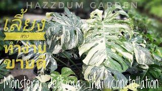 การขยายพันธุ์ Monstera deliciosa thai constellation.Hazzdum Garden