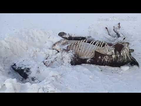Мертвая лошадь съедена падальщиками, поиски табуна лошадей.