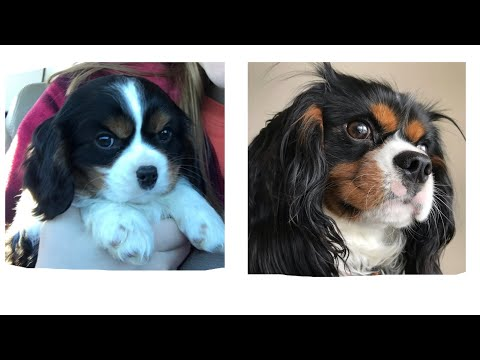 Brego's First Year (Cavalier King Charles Spaniel)