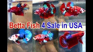 Bán Cá Betta ở Mỹ cuối tháng 8 | Betta Fish for Sale in USA | 2020