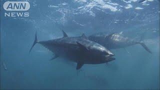 小型の太平洋クロマグロについて、水産庁が北海道と鹿児島県で来期の漁...