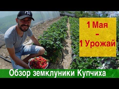 Обзор земклуники Купчиха весной в теплице и на грунте.❗️❗️❗️1 Мая - 1 Урожай ❗️❗️❗️