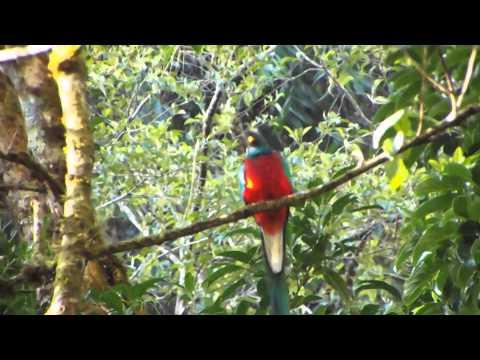 Resplendent Quetzal showing off...