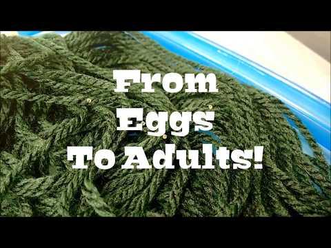 Fundulopanchax Gardneri Makurdi Longfin | From Eggs To Adults!