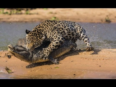 Jaguar Fangt Krokodil Ein Sensationeller Jagd Krimi Youtube