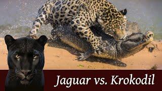 Jaguar fängt Krokodil - Ein sensationeller Jagd-Krimi