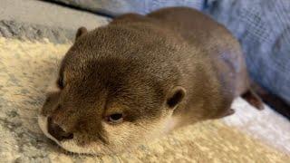 カワウソさくら 可愛いとブサイクの両方を合わせ持つカワウソ otter that is both cute and ugly