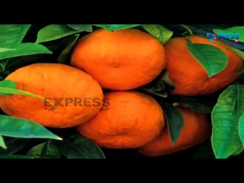 Cultivation of Kinnow Orange - Special Story - Paadi Pantalu