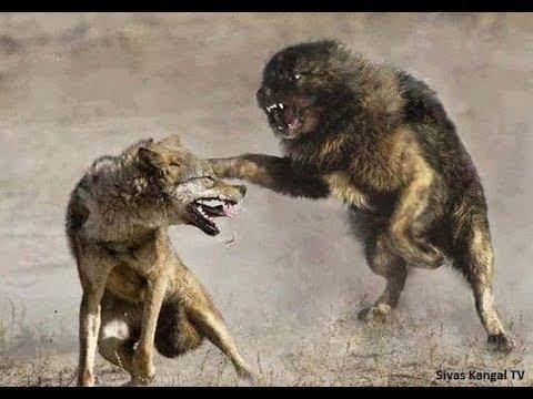 Lone Wolf vs 3 Tibetan Mastiffs!!!