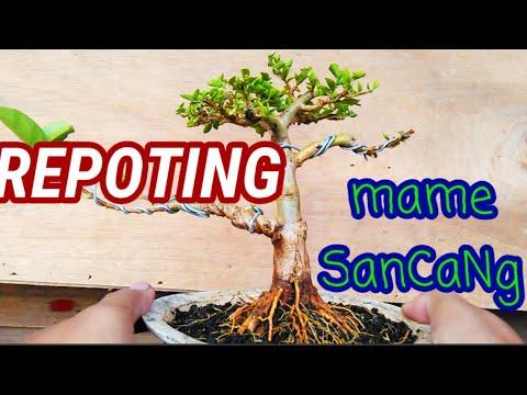 BONSAI SANCANG MAME ( Pindah Pot )