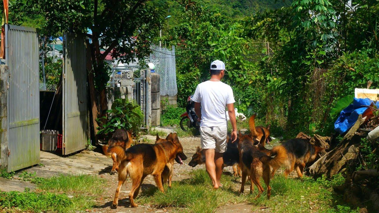 """Bữa Ăn Đặc Biệt Của Những Chú Chó Becgie Thuần Chủng Đức Tại Trại Nuôi Chó """"Khủng"""" Nhất Lai Châu"""