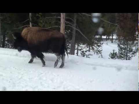 Mama and Baby Bison Reunite at Yellowstone National Park
