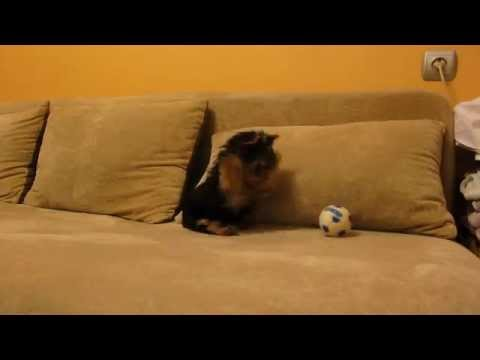 Funny Yorkshire Terrier puppy barking at toy ball