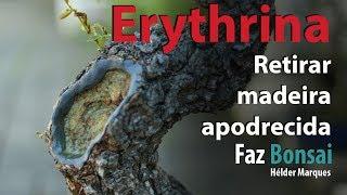 Erythrina - Retirar madeira apodrecida