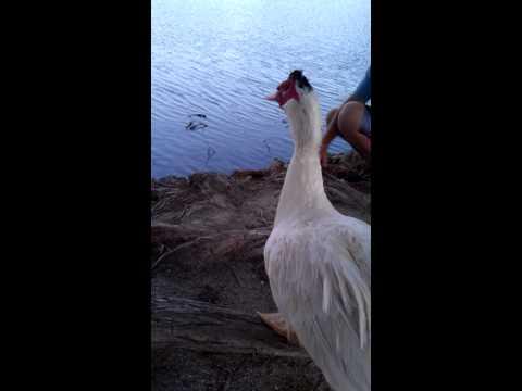 Cross breed Chicken duck. Wtf?